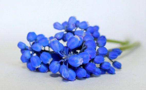 Het blauwe druifje.