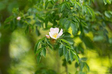 De drie fasen van de bloem van een botanische roos van Marijke van Eijkeren