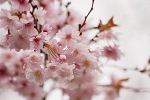 Prunus bloesem