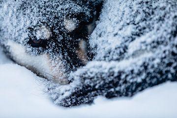 Husky opgekruld in de sneeuw