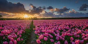 Veld met tulpen bij zonsondergang