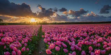 Veld met tulpen bij zonsondergang van