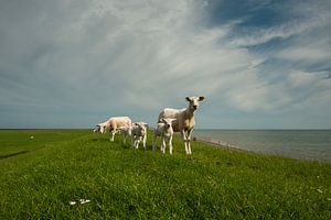 schapen op waddendijk