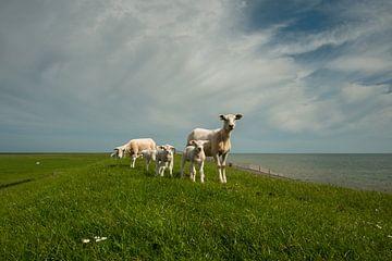 schapen op waddendijk van margreet van vliet