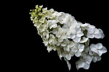 Eikenblad hortensia. van Tilly Meijer