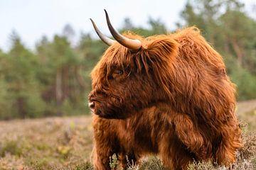 Portret van een Schotse Hooglanders in het natuurgebied van de Veluwe van Sjoerd van der Wal