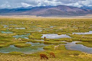 Grazende lama's in de bergen van de Andes, Peru van