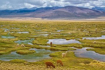 Grazing Lamas in den Anden, Peru von Rietje Bulthuis