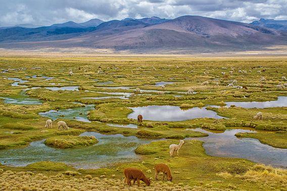 Grazende lama's in de bergen van de Andes, Peru