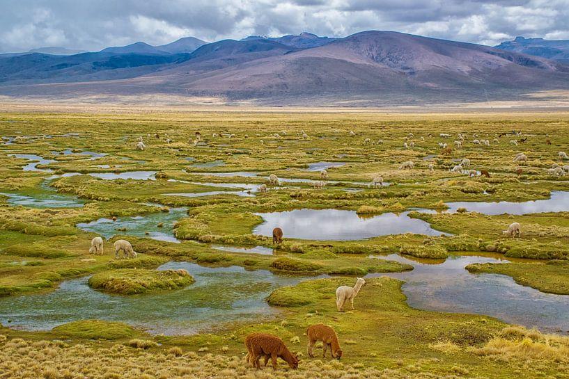 Grazende lama's in de bergen van de Andes, Peru van Rietje Bulthuis