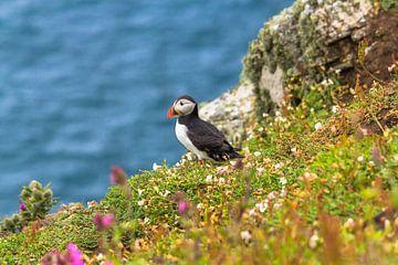 Papegaaiduiker tussen de bloemen aan de rand van een klif op Skomer eiland in Pembrokeshire in zuidw von Ramon Harkema
