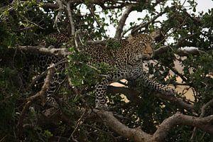 Luipaard verscholen in een boom.