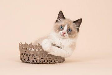 Ragdoll kitten von Elles Rijsdijk