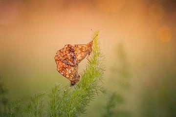 Vlinders parend sur Erwin Stevens