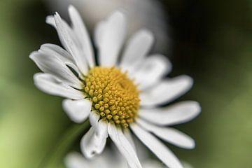 Blume VI - Gänseblümchen sur Michael Schulz-Dostal