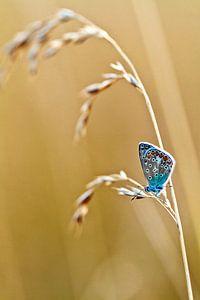 Blauwtje van Boris Van Berkel