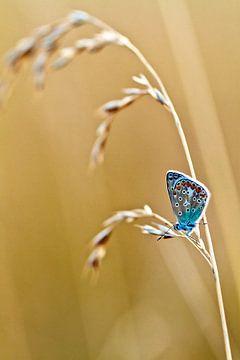 Blauwtje von Boris Van Berkel
