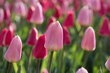 Close-up roze en paarse tulpen van Egon Zitter