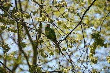 Halsbandsittich zwischen den Blüten von FotoGraaG Hanneke