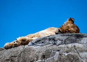 Schlafendes Löwenjunges