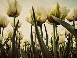 Witte Tulpen in 't Veld