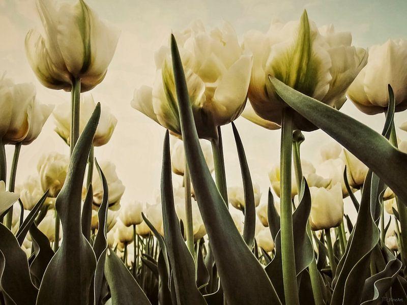 Witte Tulpen in 't Veld van Yvon van der Wijk