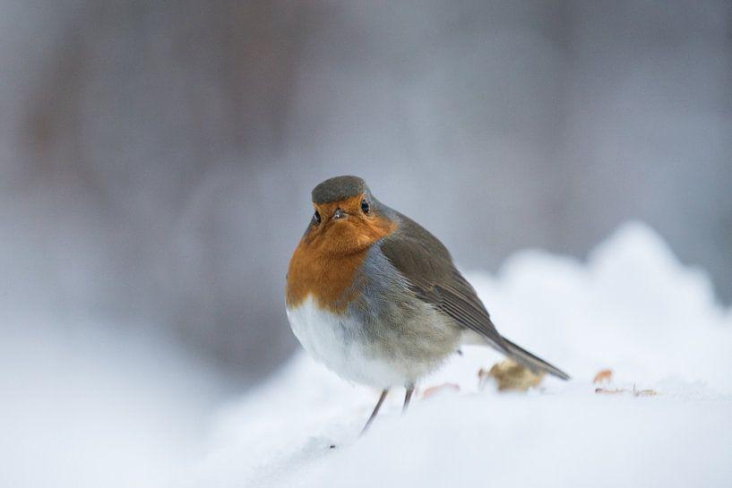 Robin bird van Mark Zanderink