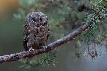 Otus schept op de tak van een dennenboom na een regenbui, grappige kleine uil. van wunderbare Erde
