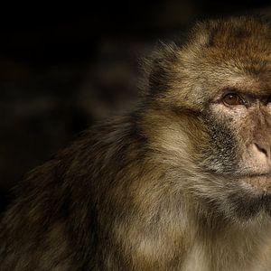 Monkey van