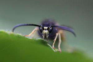 Nahaufnahme/Makroaufnahme einer Wespe