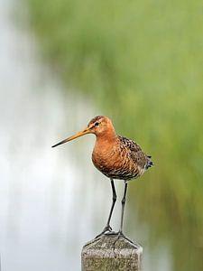 Grutto -statige bewaker in de polder