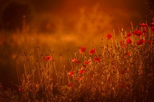 Coquelicots dans la lumière chaude et dorée du soleil de l'heure sur Mayra Pama-Luiten