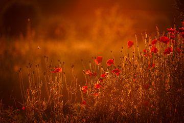 Klaprozen in warm gouden uur zonlicht van Mayra Pama-Luiten