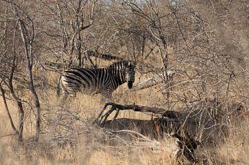 Zebra in Zuid-Afrika van Eveline van Beusichem