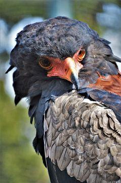 Kleurrijke Roofvogel van DoDiLa Foto's