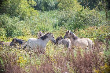 Konik-Pferde in der Natur von Ans Bastiaanssen