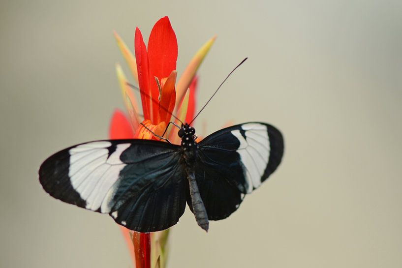 Black butterfly sur Rene Mensen