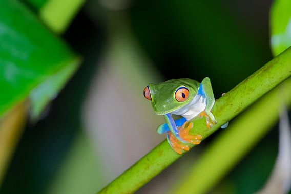 Tree Frog van Eddy Kuipers