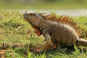 Iguane à Cano Negro Costa Rica sur