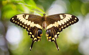 koninginnenpage (Papilio machaon) von