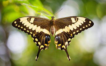 koninginnenpage (Papilio machaon) van