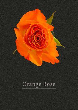 Rose in orange von Leopold Brix
