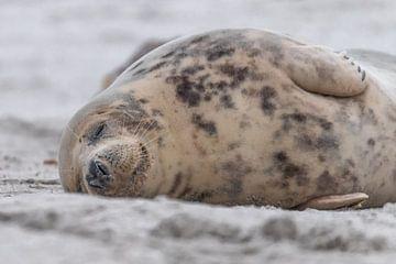 slapende zeehond op het strand van Desirée Couwenberg