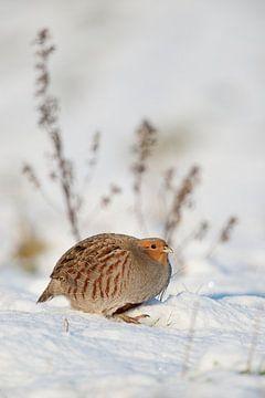 Grey Partridge ( Perdix perdix ) in snow covered environment, winter, wildlife, Germany. van wunderbare Erde