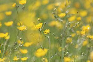 Bloemen veld van boterbloemen