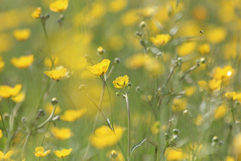 Bloemen veld van boterbloemen van Fotografie Sybrandy