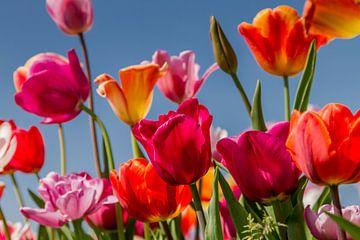 Tulpen von Marian van der Kallen Fotografie