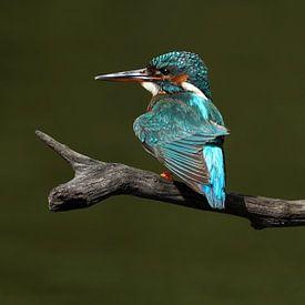 IJsvogel van Wim Frank