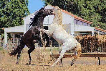 Vechtende paarden van Daphne Meijer
