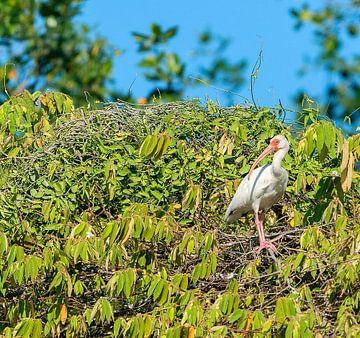 Witte ibis van Maarten Verhees